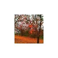 柿子树产地、6-15公分柿子树专供、山西春秋苗圃