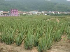 供应库拉索芦荟种苗防辐射绿植盆栽